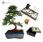 Chinese Elm Bonsai & Gift pack | Special Offer | Herons Bonsai