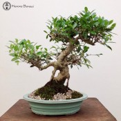 Ficus Bonsai | Oval ceramic pot | FI345A