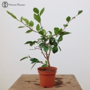 (Cloned) Camellia Bonsai Tree | Flower Pot | £12