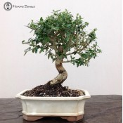 Wild Olive Bonsai Tree