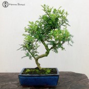 Pepper Tree | Large | £59 | Blue Pot