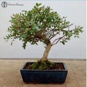 Pistacia Bonsai |£149 | Ceramic Pot