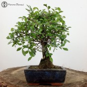 Ulmus parvifolia 'Chinese Elm'  |£29  Broom Style | Blue Pot