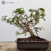 Pistacia Bonsai | Wired and in a plastic pot