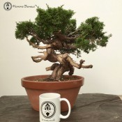 Chinese Juniper | Itiogawa | £1,950 | Herons Bonsai