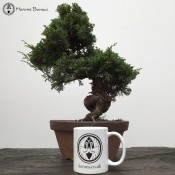 Chinese Juniper | Itiogawa | £795 | Herons Bonsai