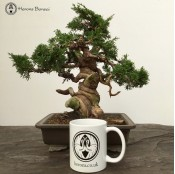 Chinese Juniper | Itiogawa | £1,250 | Herons Bonsai