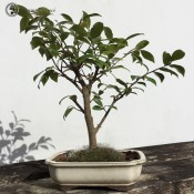 Camellia Bonsai |Ceramic Pot | Herons Bonsai