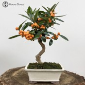 large citrus orange bonsai tree | herons bonsai