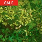small leaf maple seeds sale