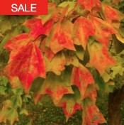 trident maple seeds sale