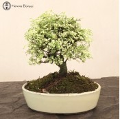 Japanese Elm Zelkova |Oval  Japanese Pot | £95 | Herons Bonsai