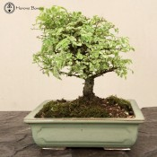 Japanese Elm Zelkova |Rectangle  Japanese Pot | £95