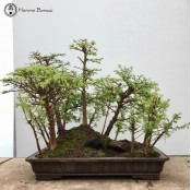 Chinese Larch Landscape 10+ Tree | Herons Bonsai