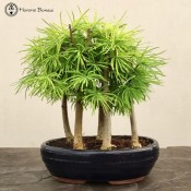 Metasequoia glyptostroboides Dawn Redwood Forest - 5 Trees| herons bonsai