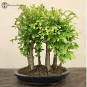 Ulmus parvifolia 'Chinese Elm'  Forest Group (9 trees) | £259