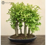 Ulmus parvifolia 'Chinese Elm'  Forest Group (9 trees)