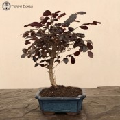 Loropetalum Bonsai
