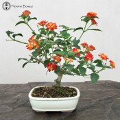 flowering lantana bonsai tree