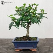 Japan Pepper | Broom Style | £25 | Blue Pot | Herons Bonsai