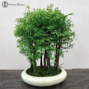 Dawn Redwood Forest - 9 Trees - Round Ceramic | Herons Bonsai