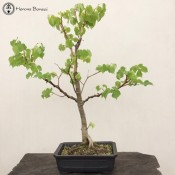 Tilia or Lime Bonsai - Large