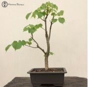 Tilia or Lime Bonsai