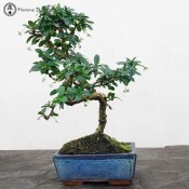 carmona bonsai tree | herons bonsai