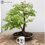 Maple Kabudachi Specimen Bonsai Tree| Herons Bonsai