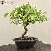 Mulberry Bonsai Tree