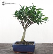 Ficus Bonsai | Small Broom Style | £19