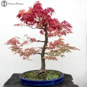Japanese Maple | Large