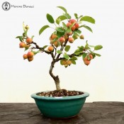 Crab Apple Bonsai ceramic Pot | £89