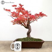 Ki Hachijou Maple Bonsai | Large | COLLECTION ONLY