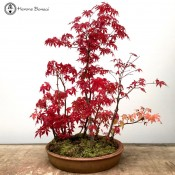 Mountain Maple | Large Forest | COLLECTION ONLY