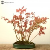 Japanese Maple| 13 Tree Forest | COLLECTION ONLY