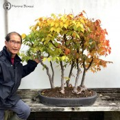 Japanese Grey Bark Elm 'Zelkova Serrata' Bonsai Forest