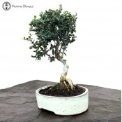 Olea europaea 'Wild Olive' Bonsai Tree | Ceramic Pot | £39