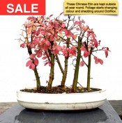 Ulmus parvifolia 'Chinese Elm'  Forest Group | £159