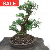 Carved Ligustrum 'Privet' Bonsai in Primitive Style Bonsai Pot