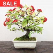 Pyracantha anguvstifolia 'Firethorn'  Bonsai Tree