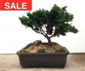 Hinoki Cypress with Rock | COLLECTION ONLY