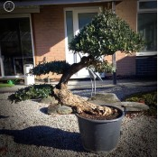 Large Olive Tree Specimen