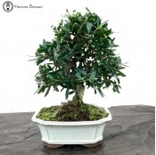 Olea europaea 'Wild Olive' Bonsai Tree | Ceramic Pot