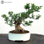 Citrus Bonsai | £275