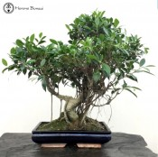 Ficus Bonsai with Amazing Ariel Roots