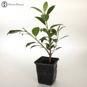 Ficus Starter Tree Material