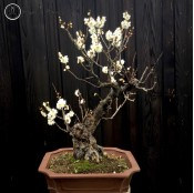 Japanese Ume Apricot | White Flowering