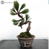 Austrian Black Pine | Herons circle Pot