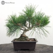 Pinus thunbergii | Wired Japanese Black Pine
